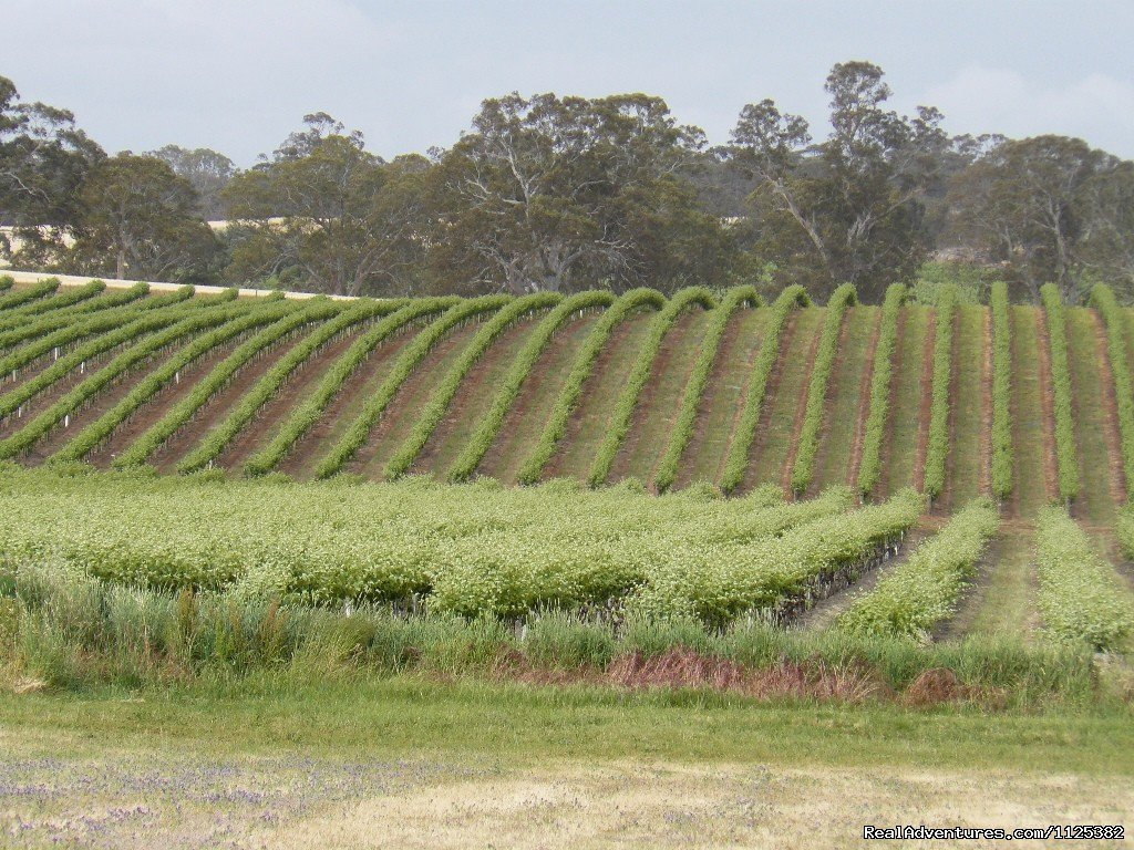 Spring Vines | Image #20/20 | Barossa Country Cottages. Premier Wine Country.