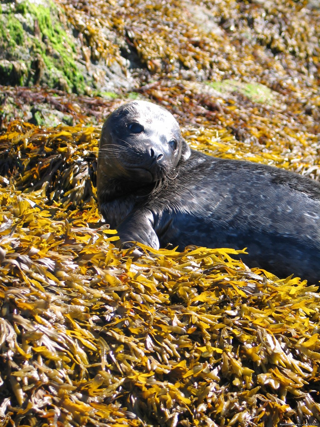 A seal on rock week | Image #23/25 | Sea Kayak Tours Desolation Sound, British Columbia