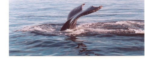 Humpback Whale in the Bay of Fundy - Exciting Lighthouse Tours