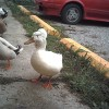 Rare pet ducks