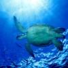 Turtle Sipadan Island