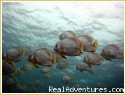 Batfish of Sipadan Borneo Malaysia - Accomodation in Semporna, Gateway to Sipadan