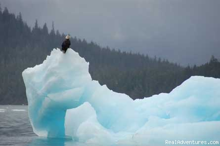 A bald eagle on an iceberg we kayaked by - Private Adventure Cruising in Alaska