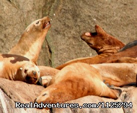 Sea Lions - Alaska Adventure Tours