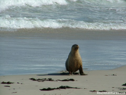 Australian Sealion, Kangaroo Island (#2 of 5) - Just Cruisin 4wd Tours Australia
