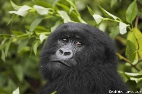 Juvenile Mountain Gorilla - Gorilla Safari - Gorilla Resort Bwindi