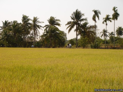 Cycling Through Mature Rice Farm - Bangkok & Countryside Bicycle Absolute Explorer