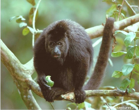Lamanai Reserve, Black Howler Monkeys - Affordable BELIZE Eco Tours