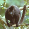 Lamanai Reserve, Black Howler Monkeys