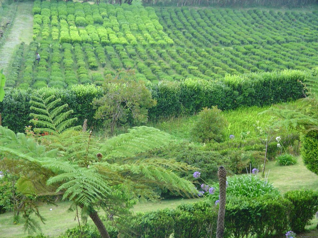 Tea Plantation Porto Formoso | Image #7/25 | Shore Excursions with Greenzone
