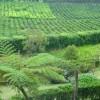 Tea Plantation Porto Formoso