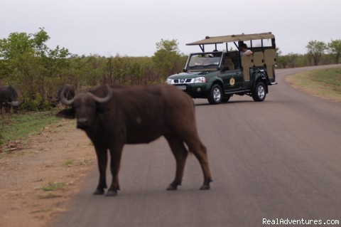 Game Viewing Watching Buffalo - South African wildlife safaris