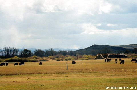 Cows in the meadow. - Diamond X Guest Ranch and Retreat