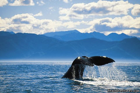 A large Sperm Whale in Pacific Ocean Kaikoura - Romantic getaways at  Austin Heights Scenic B&B