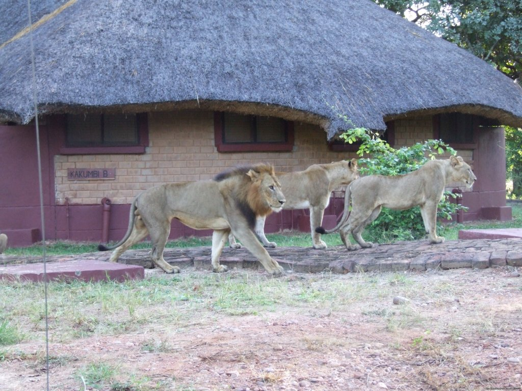 Front of one of the chalets - Lions came to visit | Image #2/26 | Ultimate Safari experience at Mushroom Lodge