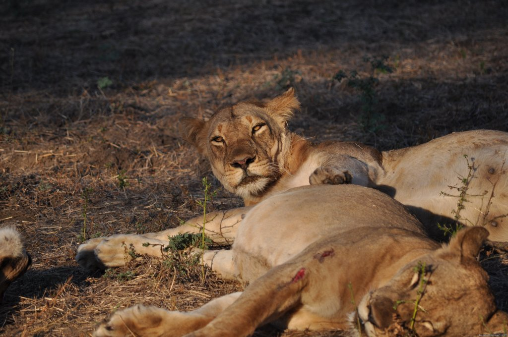 Lions seen on Game Drive | Image #19/26 | Ultimate Safari experience at Mushroom Lodge