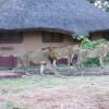 Ultimate Safari experience at Mushroom Lodge