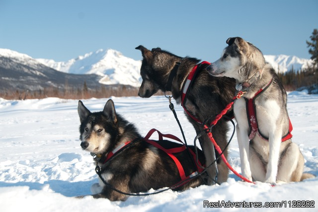 The Dogs - Alaska Brooks Range Dog Sledding Tours