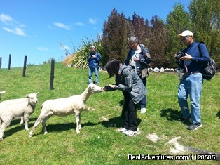 Feed the Sheep - Real Kiwi operators Wine - Golf and Scenic Tours