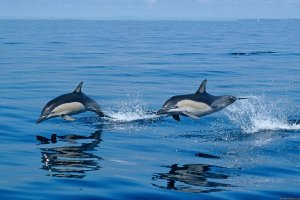 Azores A Prime Destination For Whale Watching Ponta Delgada, Portugal Whale Watching