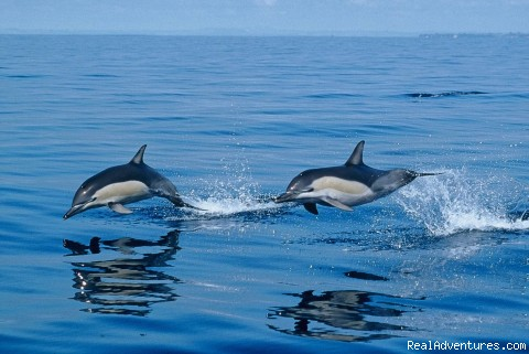 Common dolphins - Azores A Prime Destination For Whale Watching