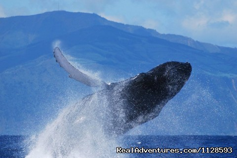Humpback whale - Azores A Prime Destination For Whale Watching