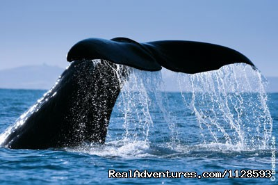 Sperm Whale - Azores A Prime Destination For Whale Watching