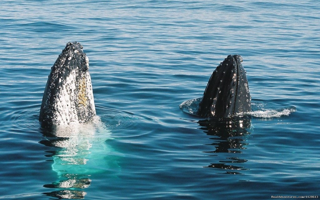 Two whales spy hopping off the Gold Coast | Image #2/4 | Gold Coast Whale Watching