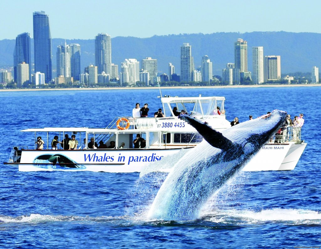 Gold Coast Whale Watching with Whales in Paradise. Experience the best whale watching has to offer on Australia's beautiful Gold Coast. Cruise aboard our luxurious catamaran to whale alley where we secure the best position to get closest whales.