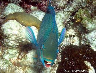 Queen Parrotfish - Snorkel SVI  Culebra Eco-Tour