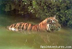Land of the Royal Bengal tiger - Adventure cruiseboat trip to mysterious SUNDARBANS