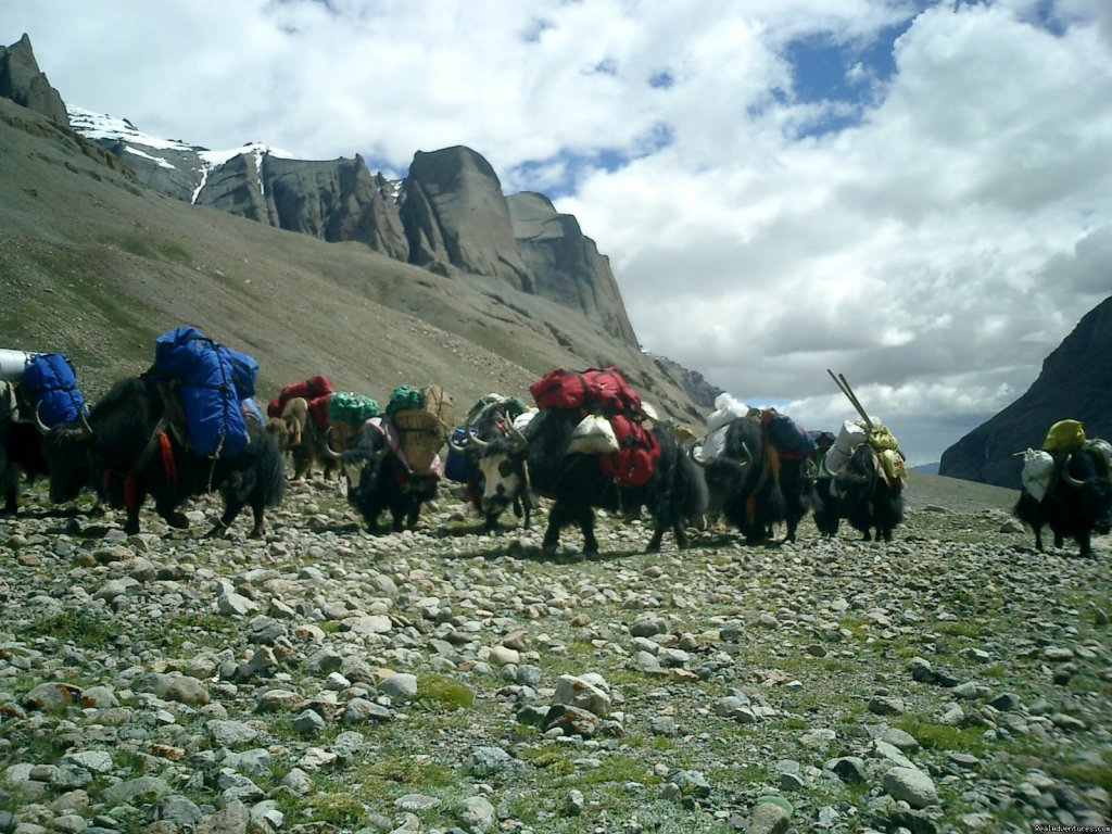 Yaks - Trekking on high Mountains