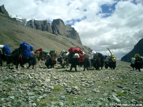 Yaks - Trekking on high Mountains - Bhutan Bigfoot Trekkers