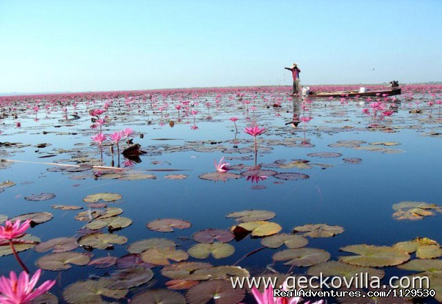 Lotus lake at Gecko Villa