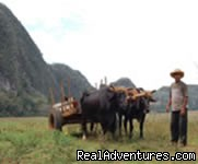 Farmers with oxen cart