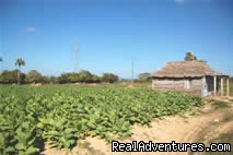Tobacco Plantation - Cycling trips in Cuba