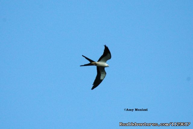 The Swallow-tailed Kite's are here - Guided kayak tours in Central Florida