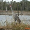 The beautiful Sandhill Crane