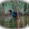 Moorhens in their breeding plumage-beautiful