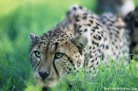 Game Viewing: Cheetah - Adventure Overland Safaris with Africa Travel Co