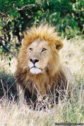 Lion, Masai Mara, Kenya - Adventure Overland Safaris with Africa Travel Co