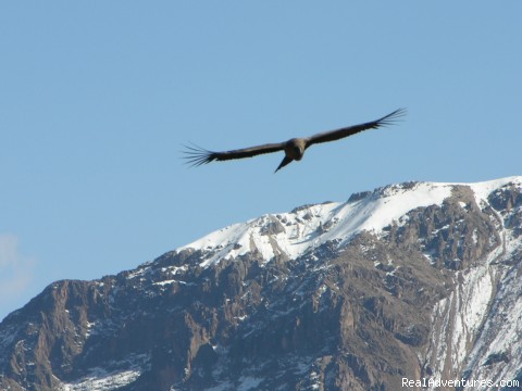Condors in the Colca Canyon - Incas & Amazon - Peru Small Group Adventure