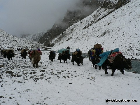 Yak carvan on Batura-Hunza - NORTH PAKISTAN ADVENTURE Trekking andTours