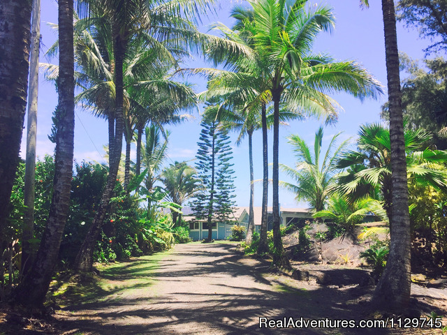 Palm lined driveway to the Alohahouse