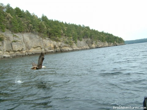 Feed bald eagles from the boat - Fantastic Vancouver Island Fishing Adventures