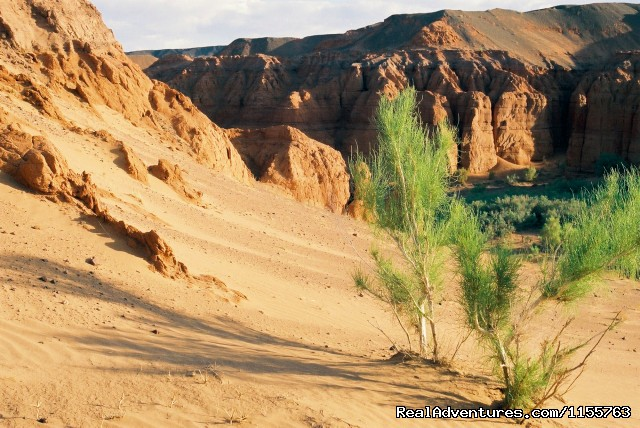 Saxual tree - Discover Gobi desert with Idre's tour in Mongolia.