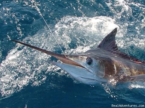 Marlin Fishing-Los Cabos w/ Allure Sportfishing Marlin - Tagged & Released