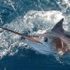 Marlin Fishing-Los Cabos w/ Allure Sportfishing