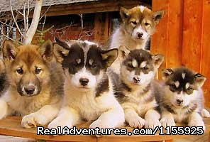 Budding Olympic athletes - Dog Sledding Vacations & Dog Mushing Tours