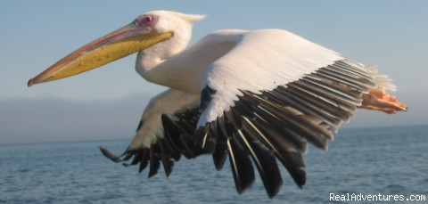 Pelican, Walvis Bay, Namibia (#13 of 20) - New African Frontiers Tours & Safaris